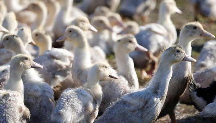 إعدام البط في فرنسا