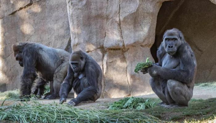 غوريللا حديقة حيوان سان دييجو